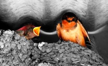 Capistrano Swallows